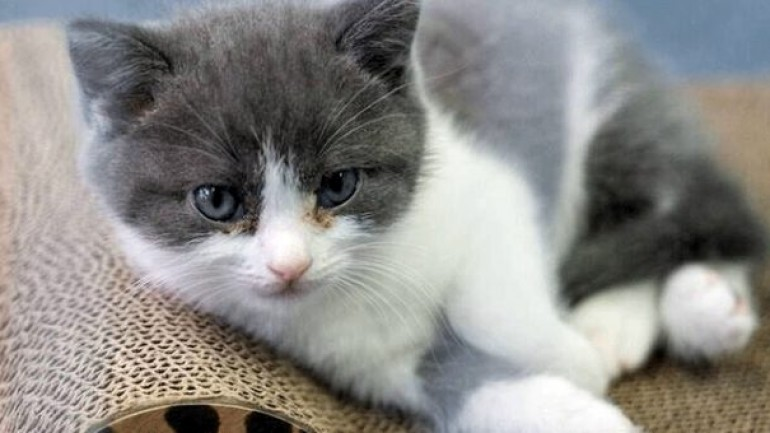 Çinli iş adamı, ölen kedisini 202 bin TL'ye klonlattı